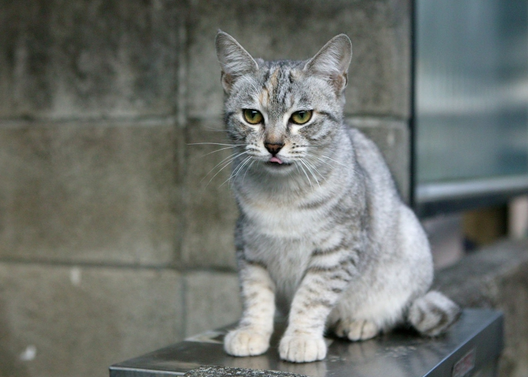 Playful, friendly and affectionate, the Australian Mist was developed as an indoor cat in response to feral cats decimating Australia's wildlife | Australian Mist Cat Breed Profile