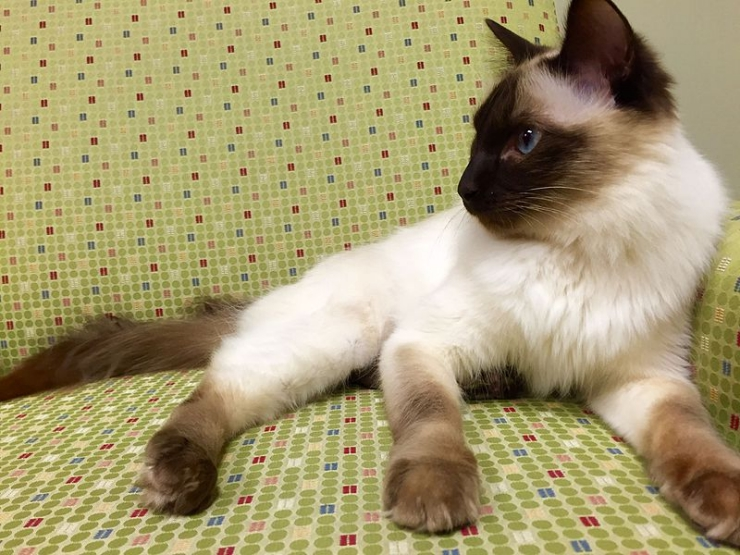 Athletic, energetic and highly intelligent, the Balinese cat loves to play but also forms strong attachments with family members and is a loyal companion | Balinese Cat Breed Profile