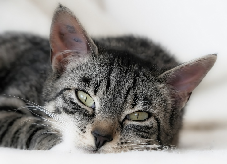 What causes cat flu? How do cats catch flu? Is cat flu dangerous? We discuss symptoms, treatment and the importance of nursing | Cat Flu: Sneezes and Sniffles…or Something More Serious?