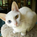 Khao Manee Cat Breed Profile