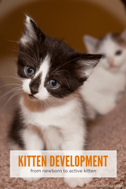 A kitten is arguably the cutest thing in the world! We look at how kitten's develop, from birth through those early weeks of life | Kitten Development: From Newborn to Active Kitten