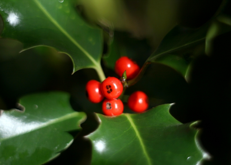 Before you 'Deck the Halls' this season, we'd like to remind you that there are many Christmas plants toxic to cats | Holly, Mistletoe and Other Christmas Plants Toxic to Cats