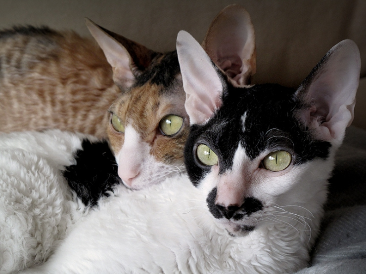Cornish Rex cats are nicknamed 'velcro cats' as a result of their tendency to attach themselves to their owners at every opportunity.
