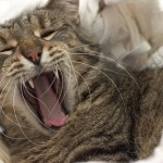 The Importance of Good Dental Health for Your Cat