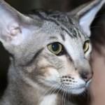Oriental Cat Breed Profile