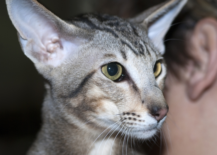 Available in a rainbow of colour combinations, the Oriental cat is a people-oriented, sociable breed who loves to be the centre of attention | Oriental Cat Breed Profile