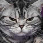 American Shorthair Cat Breed Profile