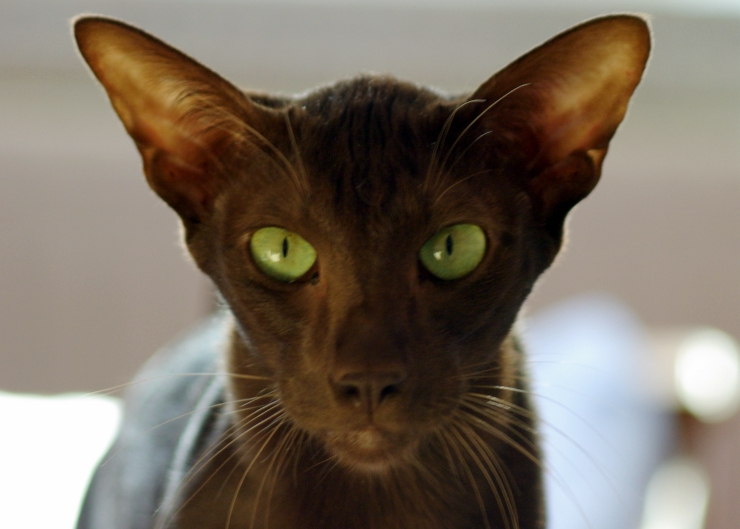 With beautiful bright green eyes and a glossy coat that resembles rich liquid chocolate, this intelligent, lively, and affectionate breed makes a devoted companion | Havana Brown Cat Breed Profile