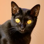 Bombay Cat Breed Profile