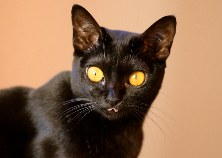 Stunning in appearance and with an inquisitive, affectionate and fun-loving personality to match this breed makes a great family pet | Bombay Cat Breed Profile