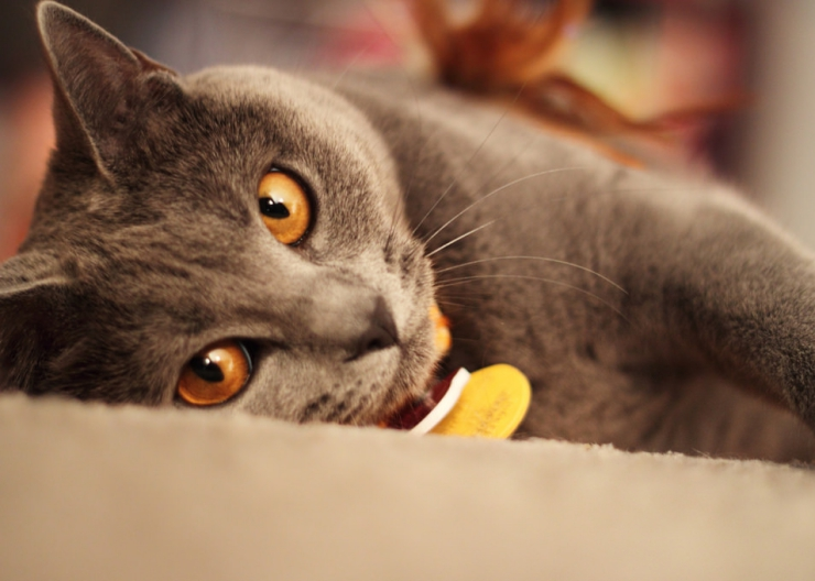 Some cats are more of a handful than others. Here's our list of cat breeds for first time cat owners to ensure you don't bite off more than you can chew.   Best Cat Breeds for First Time Cat Owners