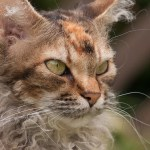 LaPerm Cat Breed Profile