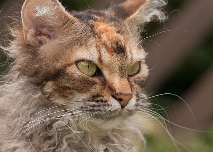 Affectionate, yet not overly demanding the LaPerm cat is a great family cat - equally happy in your lap or exploring their surroundings   LaPerm Cat Breed Profile