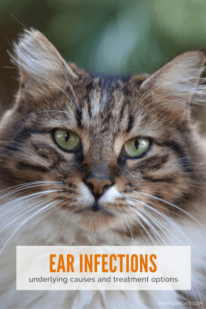 Does your cat shake its head or scratch its ear? These are two signs of a chronic ear infection in cats. We discuss underlying causes and treatment options | Chronic Ear Infections in Cats