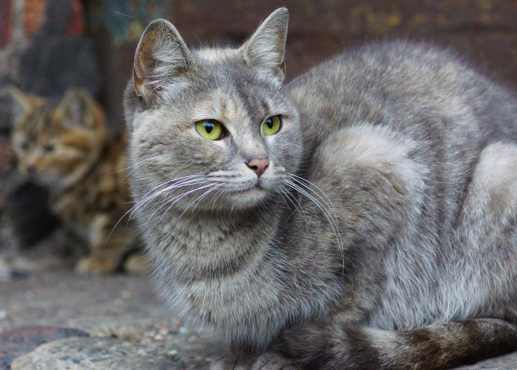 What is TNR? How does it work? Why is it important? We answer these questions and more | Trap-Neuter-Release to Control Feral Cat Populations