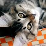American Bobtail Cat Breed Profile