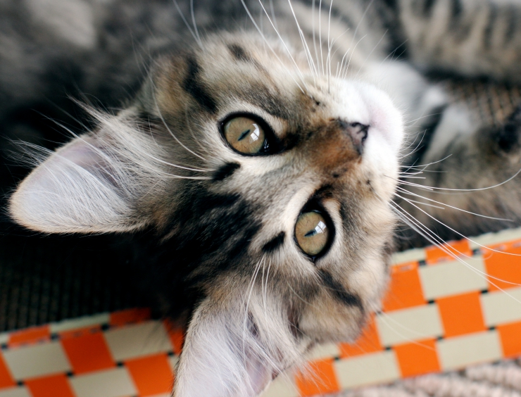 A sought after breed, the American Bobtail makes an excellent family pet. They are people-loving and good travellers which make them an ideal therapy cat | American Bobtail Cat Breed Profile