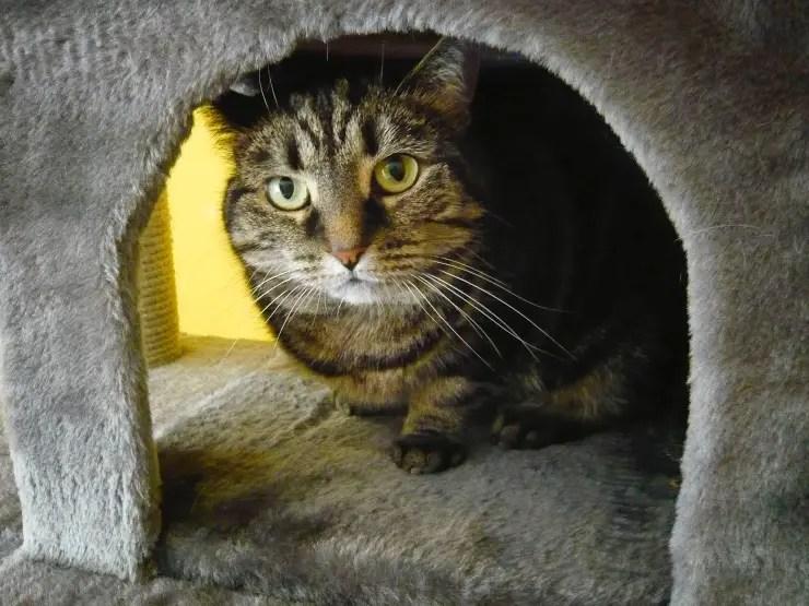 tabby cat hiding in cat tower