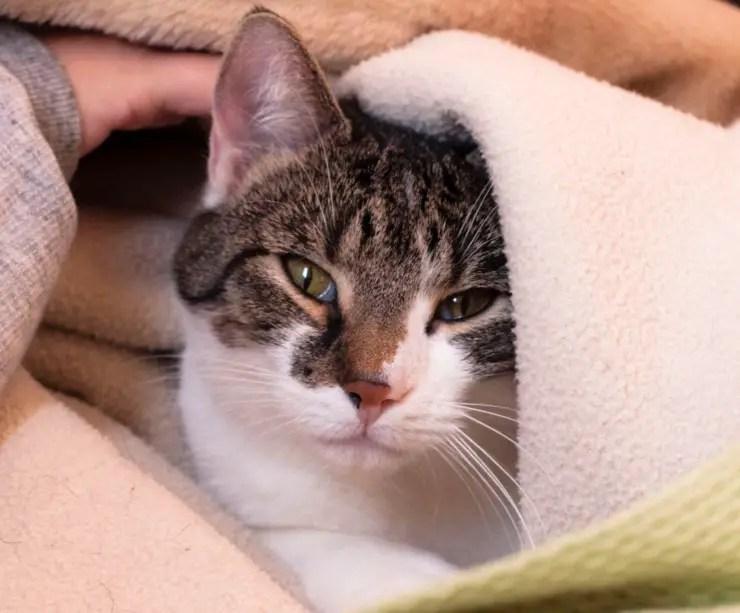 Understanding Feline Panleukopenia