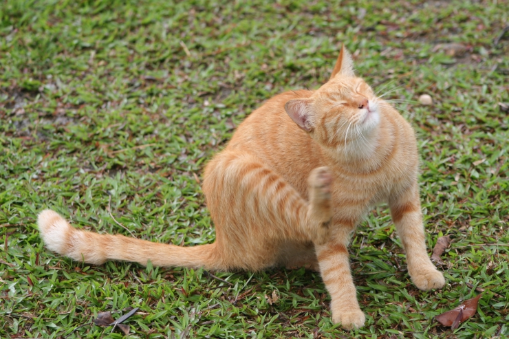 Hyperesthesia in Cats - Does your cat have twitching or rippling skin? If you've ruled out allergies, parasites, arthritis and other medical conditions, it could be feline hyperesthesia, an exaggerated response to stimulation.