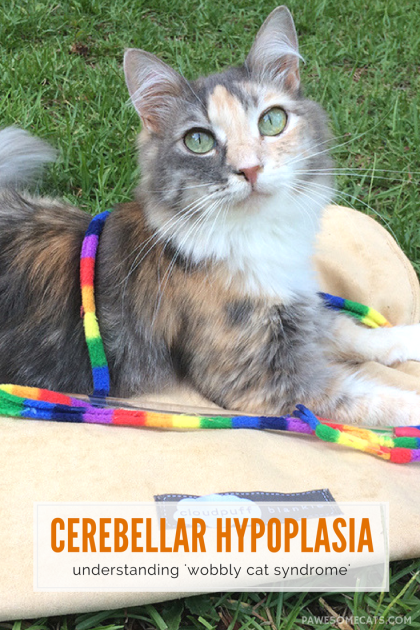 Learn more about 'wobbly cat syndrome' including how a cat develops it, the symptoms, diagnosis and living with a cat with this condition | Cerebellar Hypoplasia in Cats