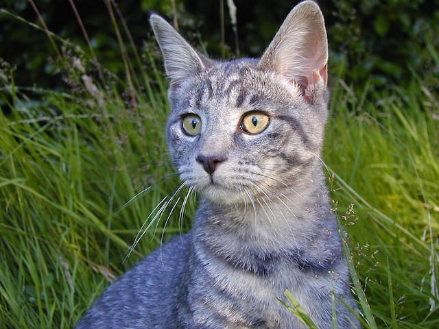 grey cat in long grass