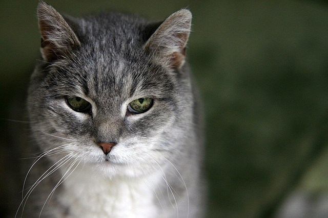 grey and white elderly cat