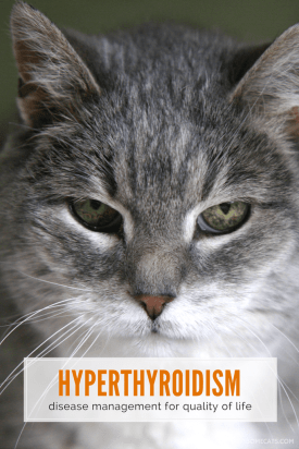 hyperthyroidism in cats disease management for quality of life