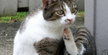 tabby and white cat scratching with back leg in air
