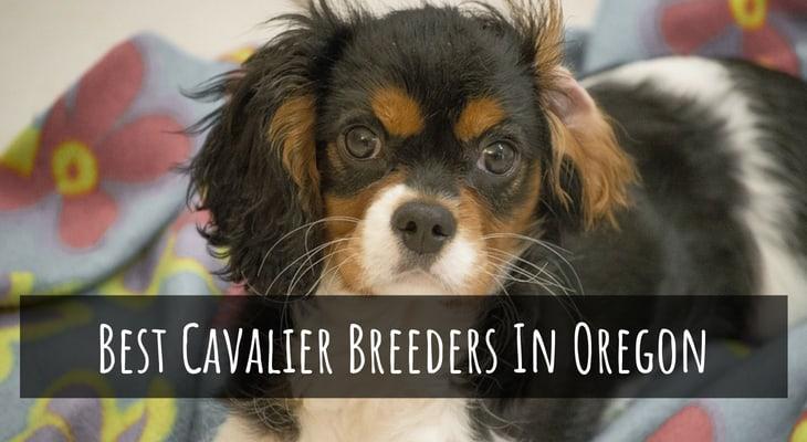 Best Cavalier King Charles Spaniel Breeders In Oregon