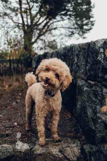 """Why """"Hypoallergenic"""" Dog Breeds Are a Myth"""