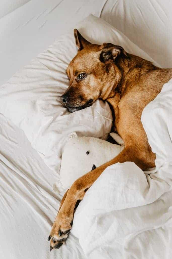 dog sleeps on my pillow online