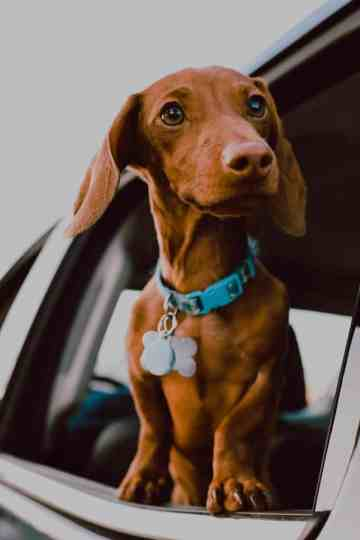 Facts You Didn't Know About Doxen Dachshunds