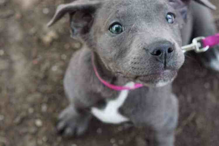 The Controversy Around the Blue-Eyed Pitbull