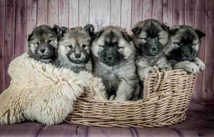 Five puppies sitting in a basket