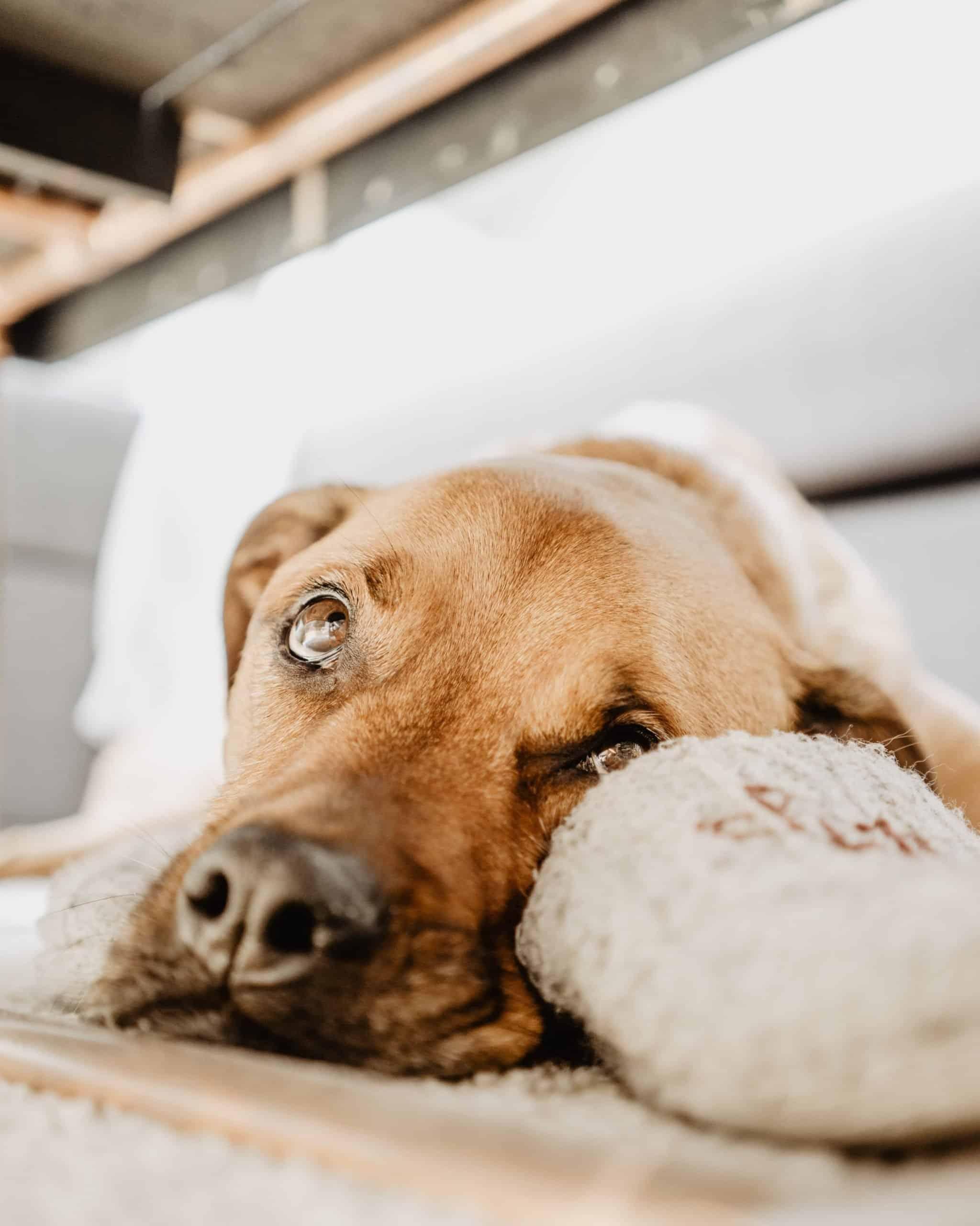 Why Is My Dog Losing Hair Around His Eyes : losing, around, Reasons, Around, Dog's, PawLeaks