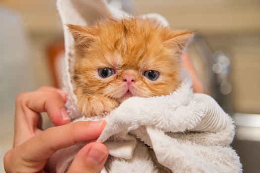 kitten wrapped in towel looking at camera to represent cat grooming spa services offered by Pawpad Bangalore