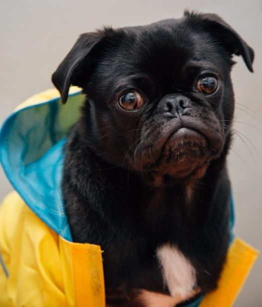 A black dog poses with a yellow raincoat on. Dog care tip no 1 is to make sure your dog has a raincoat on when outside in the monsoon.
