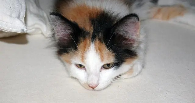 What Color Was My Calico Kittens Father Cat Advice