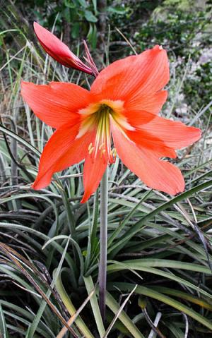 Barbados Lily Poisonous Plant For Pets
