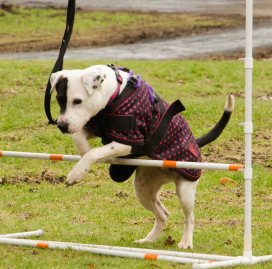 Lacey is looking for a new home: http://rescuedogs.org.uk/staffie-smiles