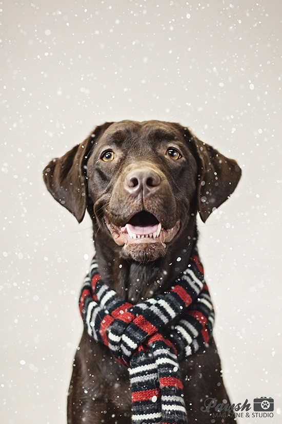 Cute Labrador Puppies Wallpaper 2015 Toronto Holiday Pet Mini Sessions Pawsh Magazine
