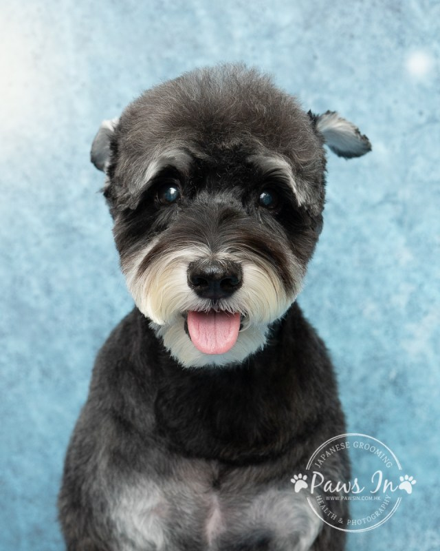 pet beauty,pet grooming,pet grooming yuen long,元朗寵物美容,剪甲,寵物沖涼,寵物美容,日式寵物美容,狗 剪毛,狗 沖涼,史納莎, Schnauzer