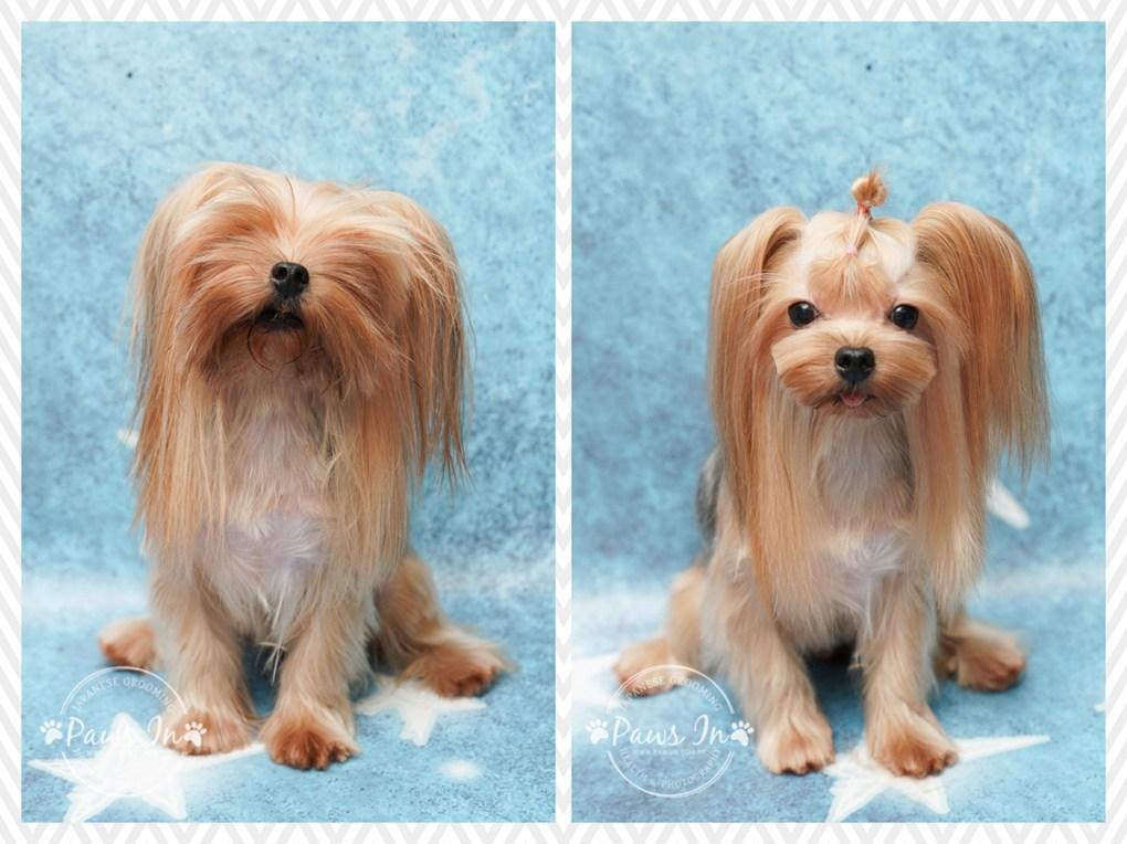 約瑟爹利, 狗剪毛, 寵物美容, 狗美容, 元朗寵物美容