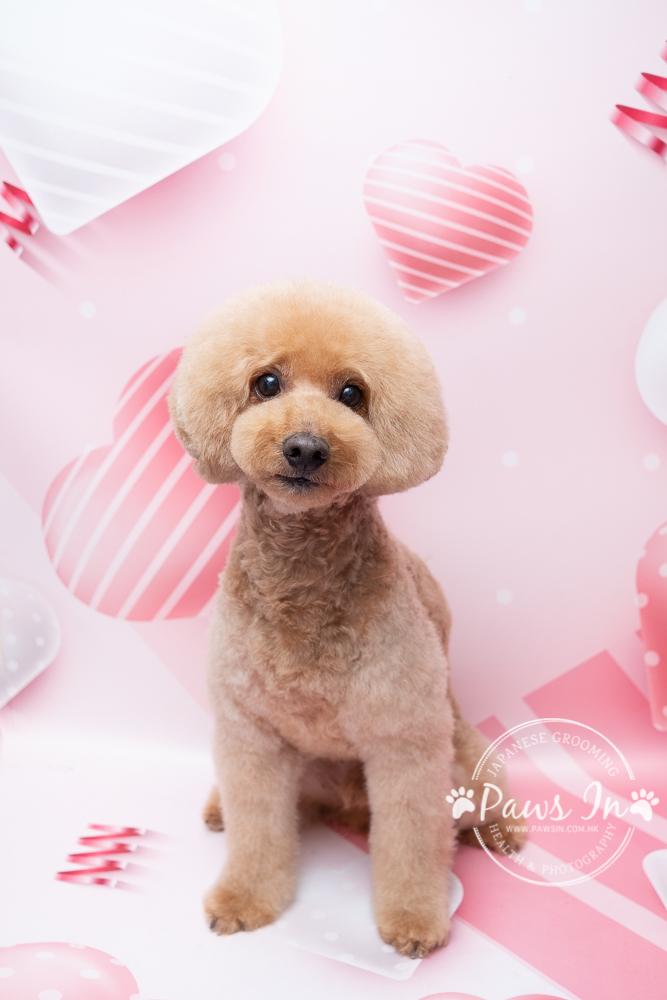 poodle, poodle hair cut, poodle grooming, poodle 剪毛, poodle 剪裝, poodle 磨菇頭, 貴婦犬, 貴婦犬美容, 貴婦犬剪毛, 日式貴婦美容, 元朗日式寵物美容, 日式寵物美容