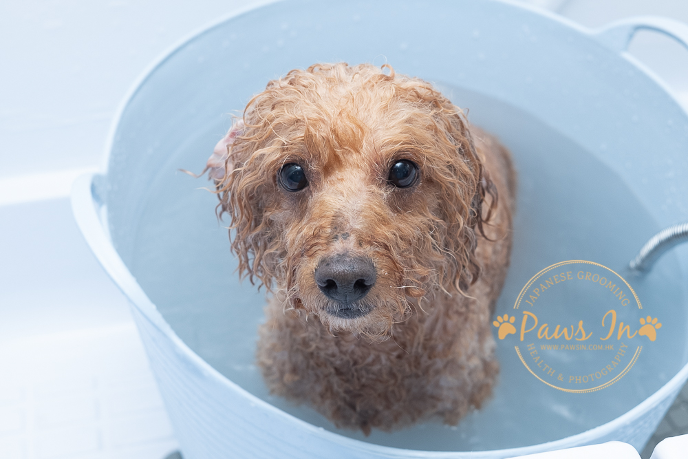 Poodle 日式貴婦造型, 日式寵物美容, 寵物美容, poodle grooming, poodle hair cut, poodle 剪毛, poodle 造型, 貴婦造型, 貴婦剪毛, dog spa