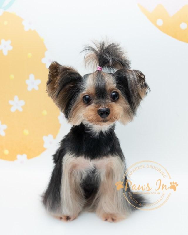 約瑟爹利 - 剪毛造型, 日式寵物美容, 約瑟剪毛, yorkie terrier, yorkshire terrier