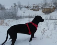 Glia sporting her Ruffwear harness on a winter hike.