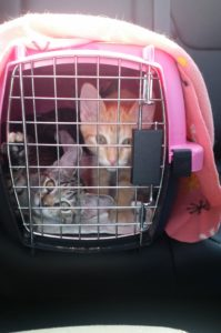 Traveling kittens might need a health certificate