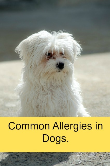 common allergies for dogs
